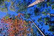 Looking up through sweetgum & pine trees in fall - Mississippi.
