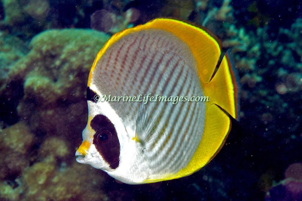 Panda Butterflyfish inhabit reefs. Picture taken Lembeh Straits, Sulawesi, Indonesia.