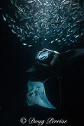 reef manta rays, Manta alfredi, feeding on plankton attracted by light at night, among schooling Hawaiian flagtail or aholehole, Kuhlia xenura ( endemic species), in Makako Bay, Keahole, Kona, Hawaii Island ( the Big Island ), Hawaii, U.S.A. ( Central Pacific Ocean )