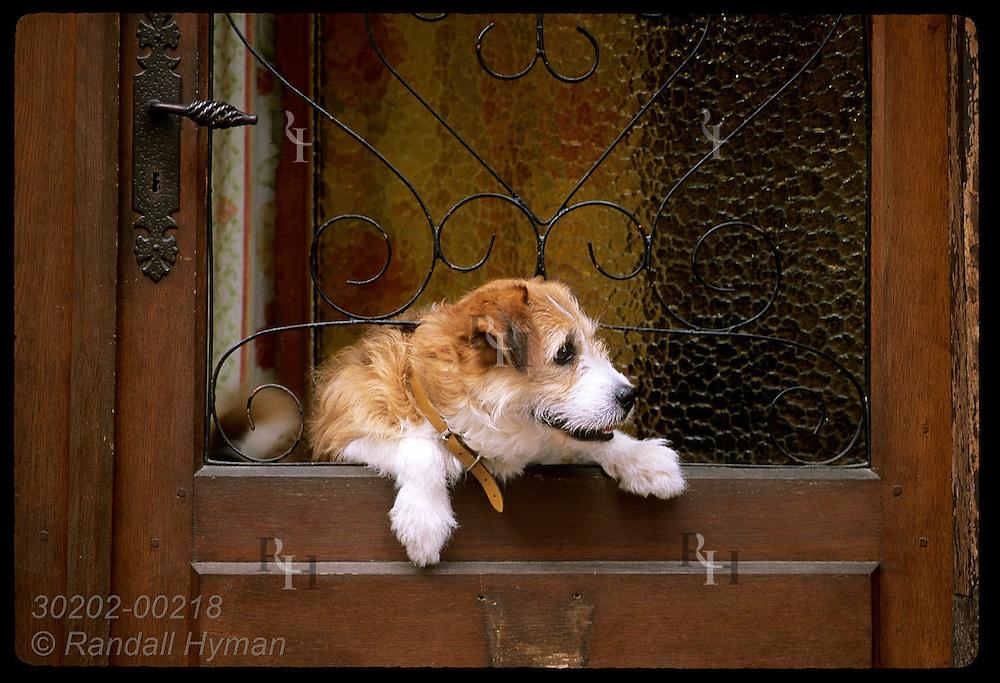 Furry dog peers from front door in town of Eguisheim, Alsace.  France