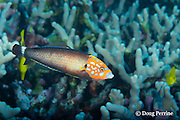 psychedelic wrasse or red tail wrasse, Anampses chrysocephalus, Hawaiian endemic species, male, Driftwood dive site, off Red Hill, South Kona, Hawaii, USA ( Central Pacific Ocean )