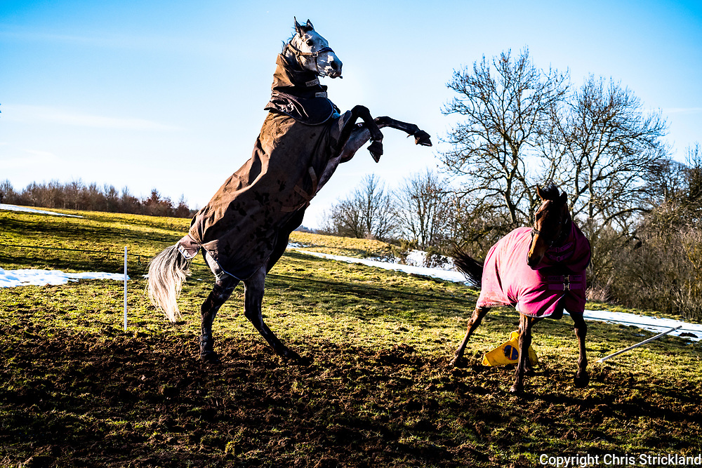 A point to point to racehorse looks out to a blue sky while relaxing in a field.