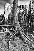 Tree in the foregrond of El Capitan with the merced river.