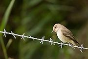 Spotted flycatcher (Muscicapa striata). Arne, Dorset, UK.