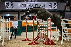 KopfNr. 31 SPEEDMASTER von Schwarzgold X Anduc<br /> Freispringen der Junghengste<br /> Neumünster - 58. Int. Trakehner Hengstmarkt 2020<br /> 16. Oktober 2020<br /> © www.sportfotos-lafrentz.de/Stefan Lafrentz