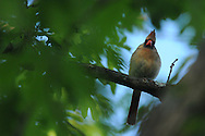 Female Northern Cardinal peaking through a gap in the leaves of a tree.