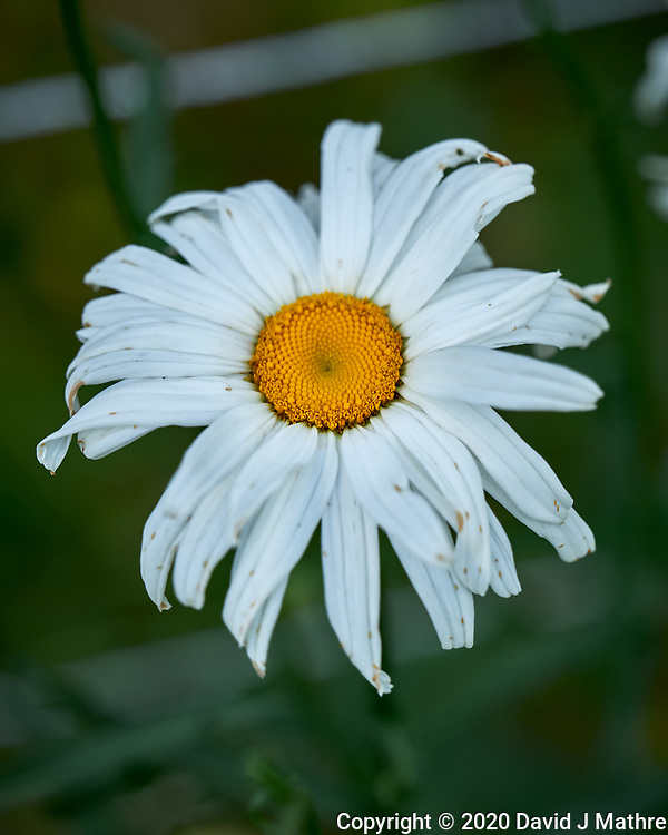 Daisy. Image taken with a Leica SL2 camera and 24-90 mm lens.