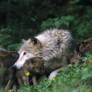 Gray Wolf, (Canis lupus) Adult carrying pup to another den sight.Montana. Captive Animal.