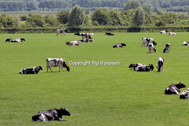 Nederland, Persingen, 29-5-2019 Koeien grazen in de wei bij een melkveebedrijf. Foto: Flip Franssen