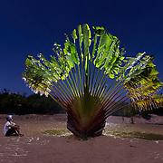 Traveler's palm (Ravenala madagascariensis) tree, Madagascar