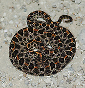 Pygmy Rattlesnake, Sistrurus miliarius, one of the four species of venomous snakes found in Florida. Photographed in Dinner Island Wildlife Management Area, Hendry County.