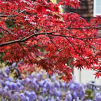 Bloodgood Japanese maple (Acer palmatum 'Bloodgood')