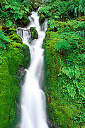 Moss and fern covered cascade, Quinault Rain Forest, Olympic National Park, Washington