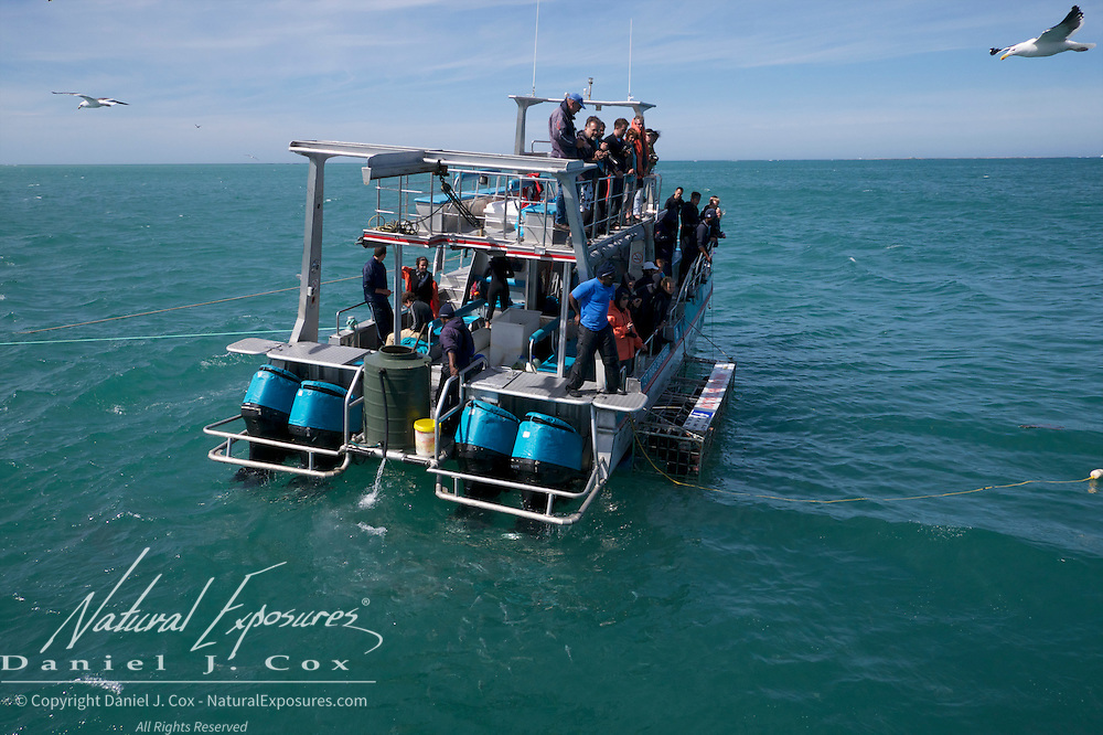 Divers chumming for great white sharks in Walker Bay, Western Cape, South Africa.
