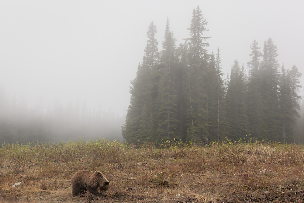 Grizzly cub in the morning fog, up rooting the vegetation. Jasper National Park, Alberta, Canada.