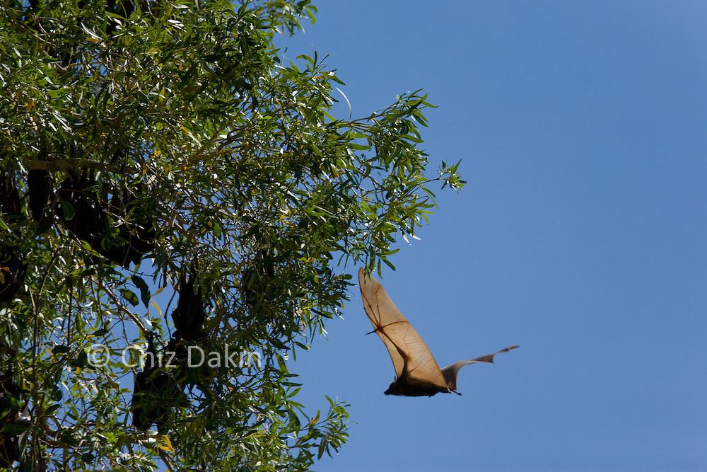 Fruit bat returning to colony in WIndjana Gorge, Kimberley Region of NW Australia