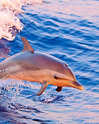 pantropical spotted dolphin, Stenella attenuata, baby, jumping out of boat wake at sunset, Kona, Big Island, Hawaii, USA, Pacific Ocean