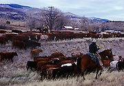 Cattle drive through Paradise Valley south of Livingston, Montana.