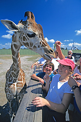 Feeding Reticulated Giraffe