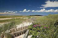 Rugosa roses bloom in the dunes in June.