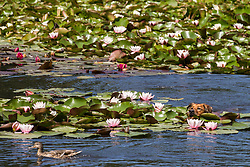 Englefield Green, UK. 27 June, 2019. A dog swims on a warm, sunny June day at the Cow Pond, an ornamental lake gilded with four different types of water lily, coloured white, pink, carmine red and gold, in Windsor Great Park. Temperatures are expected to rise in the south of England before the weekend as the heatwave intensifies still further in much of mainland Europe. The Cow Pond was renovated in 2012 to commemorate the Queen's Diamond Jubilee.