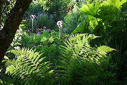 Backlit ferns and Darmera peltata