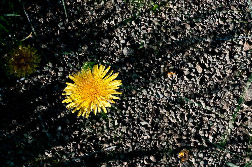 A multiple exposure of a dandelion in gravel at the University of Washington's Union Bay Natural Area in Seattle.