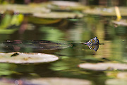 A red-eared slider (Trachemys scripta elegans) swims among the lily pads in an inlet in the Washington Park Arboretum in Seattle, Washington.