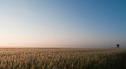 Israel, Golan Heights, Triticum Wheat field at dawn