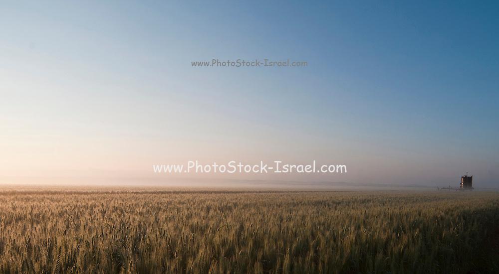 Israel, Golan Heights, Triticum Wheat field at dawn