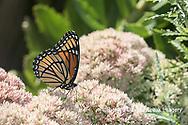 03421-00708 Viceroy (Limenitis archippus) on Autumn Joy Sedum (Sedum spectabile) Marion Co. IL