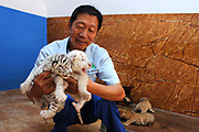 WEIHAI, CHINA - <br /> <br /> Rare Tiger Cubs Nursed By dog <br />  <br /> A breeder holds baby tigers born by a 5-year-old Bengal tiger on June 14, 2017 at Rongcheng County in Weihai, Shandong Province of China. Four tiger cubs, two golden tigers, a snow tiger, a white tiger, were born at the Xixiakou Wildlife Zoo. Working Staff of the Xixiakou Wildlife Zoo found a dog to feed the four baby tigers. <br /> ©Exclusivepix Media