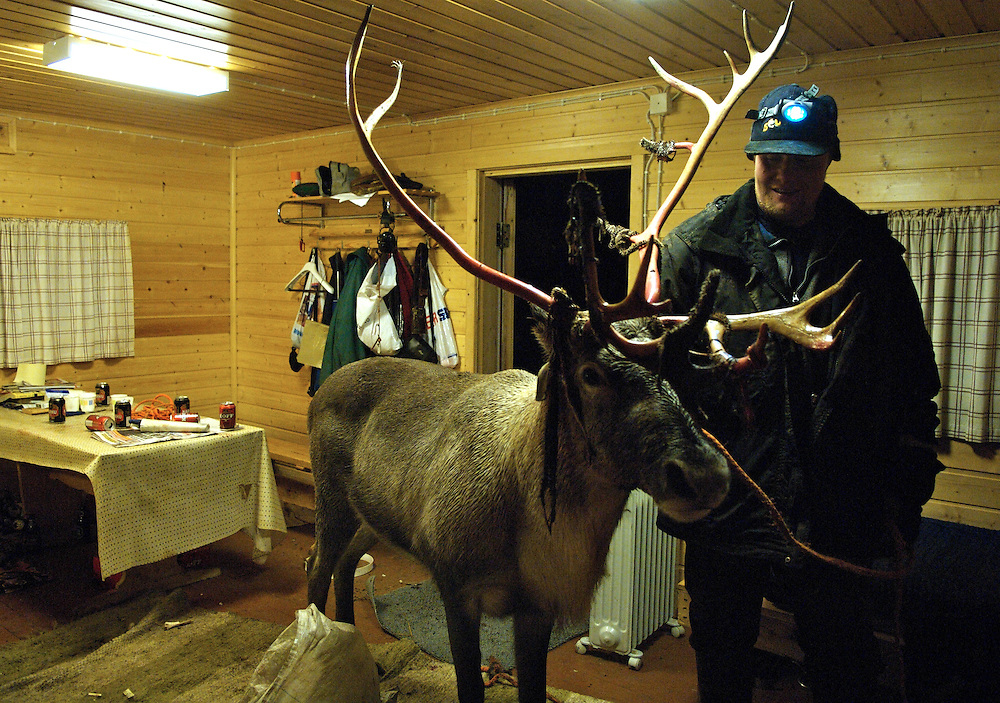 Hirvas Salmi, FINLAND.  October 17, 2007.  Awakening his drunken friend, Uule Sara, 35, coaxes his 7 year old reindeer into his cabin.  Very few herdsmen can subsist solely with their reindeer and this reindeer is used for the tourism trade, specifically sledge pulling...