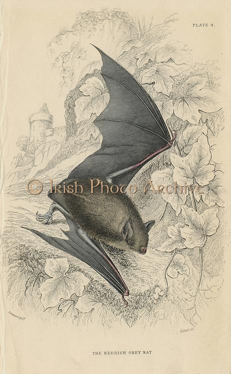 Natterer's Bat (Myotis nattereri) small mouse-like flying mammal. From 'British Quadrupeds', W MacGillivray, (Edinburgh, 1828), one of the volumes in William Jardine's Naturalist's Library series. Hand-coloured engraving.