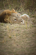 Lion lying on grass in South Luangwa National Park, Zambia