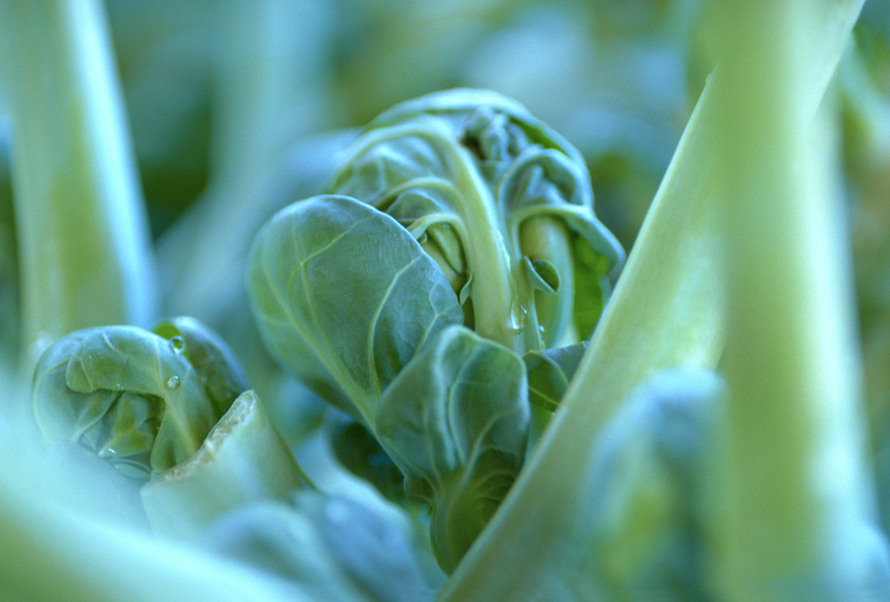 Extreme selective focus close up of a Brussel Sprout