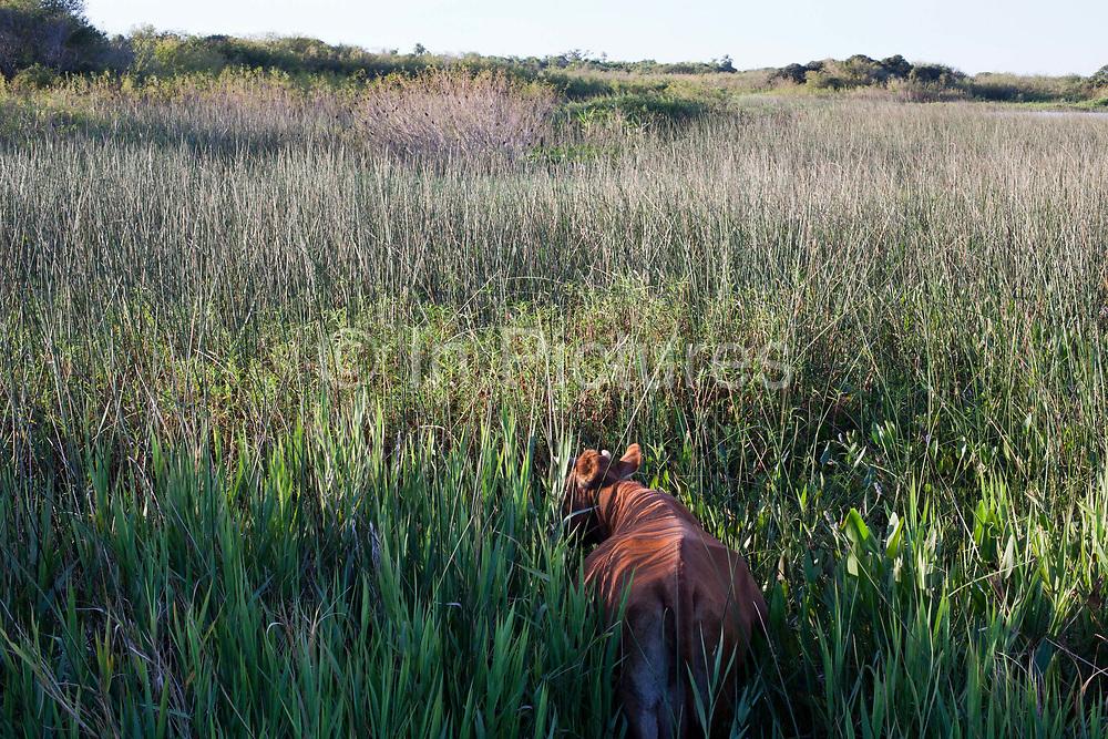Cow walking through long grass, rear view. Working Gaucho Fazenda in Rio Grande do Sul, Brazil.