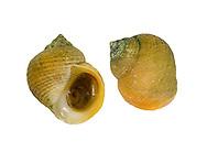 Rough Periwinkle - Littorina saxatilis