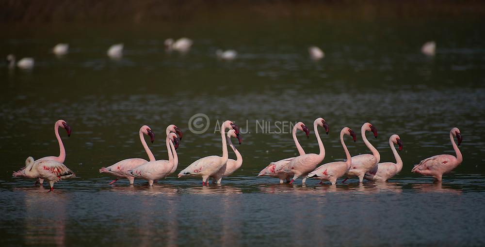 Lesser flamingos (Phoenicopterus minor) at Lake Bogoria, Kenya
