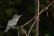 Ringed Kingfisher (Megaceryle torquata)<br /> Northern Pantanal<br /> Mato Grosso<br /> Brazil