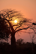 Baobab tree against setting sun. Luangwa Valley National Park Zambia, Africa