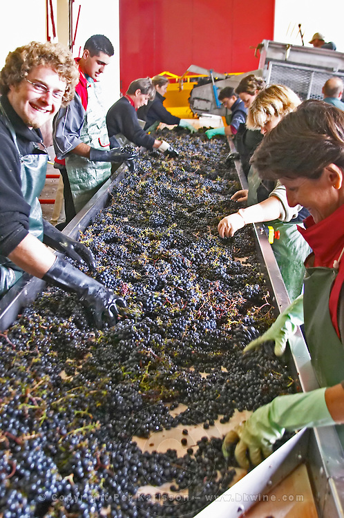 Hand selecting the bad grapes at a sorting table. Chateau Haut Marbuzet, Saint Estephe, medoc, Bordeaux, France