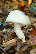 Ivory Woodwax - Hygrophorus eburneus