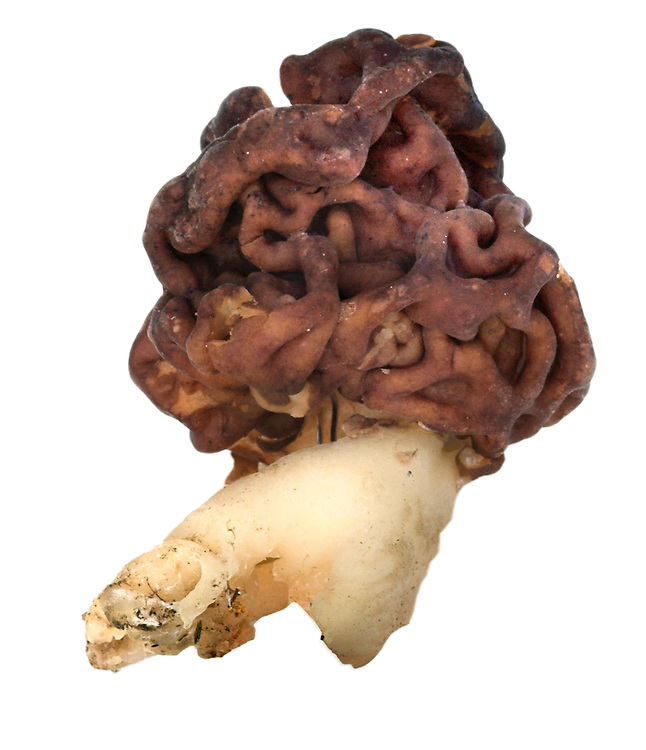 false morel<br /> Gyromitra esculenta