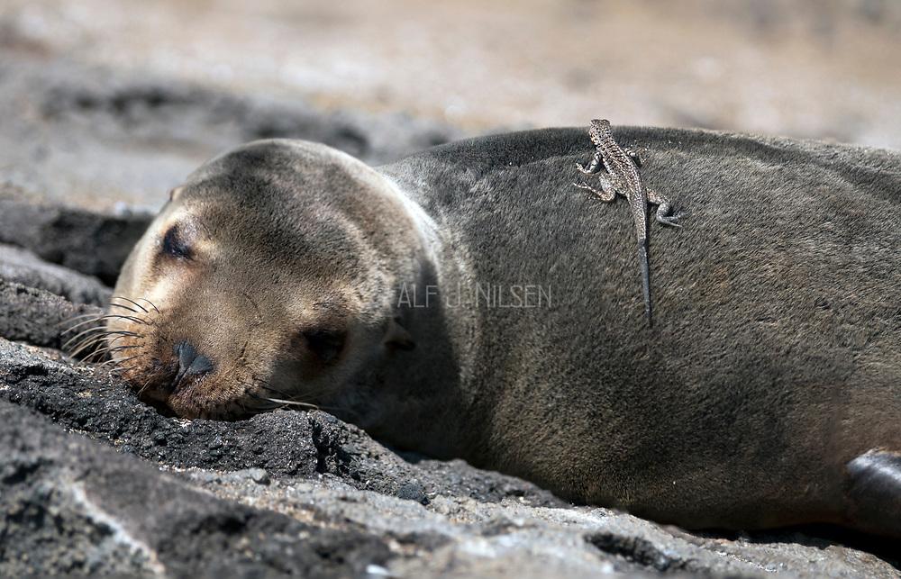 Sleeping Galapagos sea lion, Zalophus wollebaecki, with Lava Lizards (Microlophus albemarlensis) from Santiago, Galapagos.