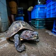 Freshwater Turtle Trade