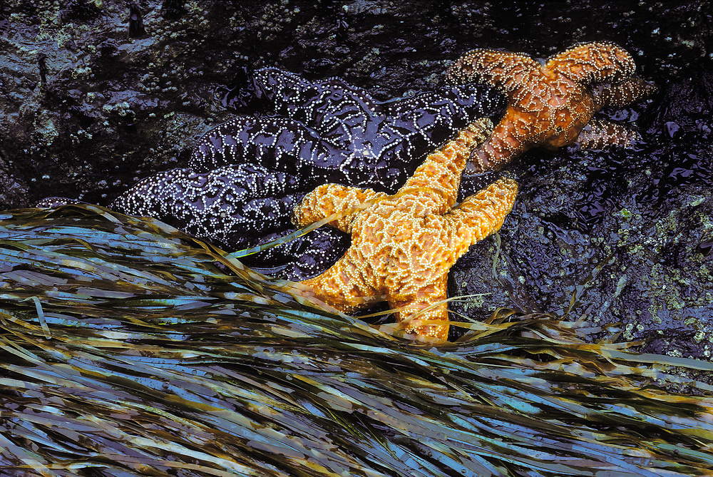 Seastars, Beach 2, Olympic National Park, Washington, USA