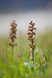 Frog Orchid, Long-Bracted Green Orchid Coeloglossum viride syn. Dactylorhiza viridis