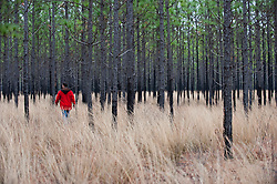 Man Walking Through  A Pine Forest In South Carolina