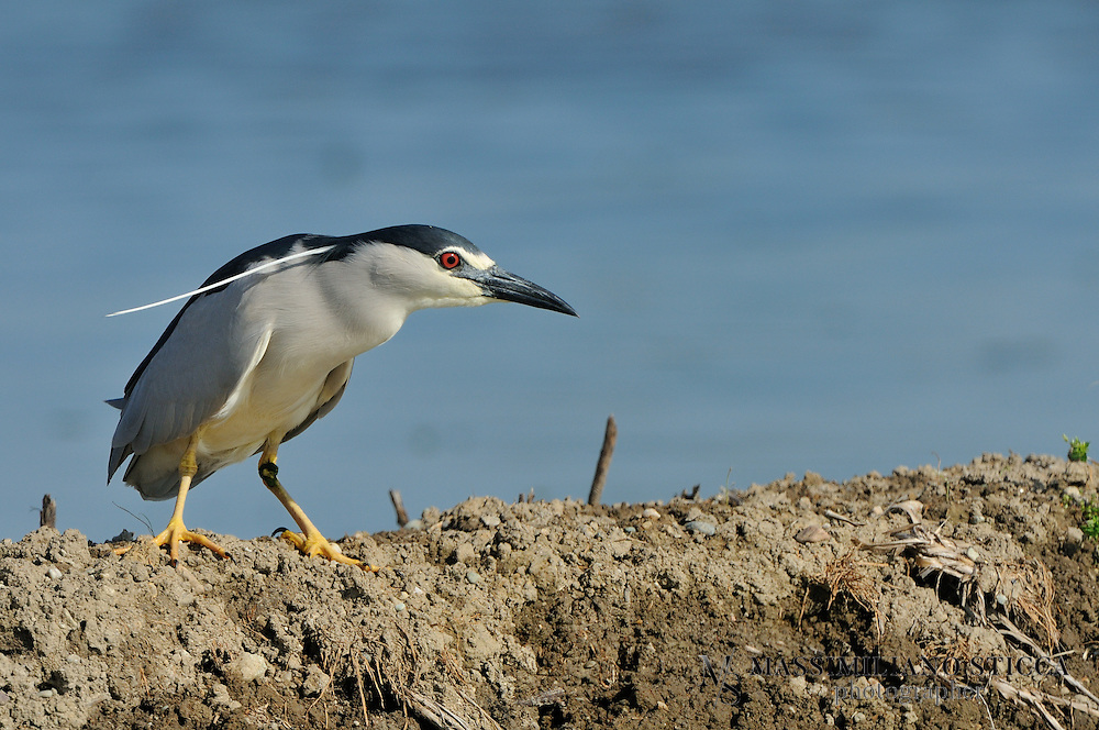 """The Black-crowned Night Heron (Nycticorax nycticorax), commonly abbreviated to just Night Heron in Eurasia, is a medium-sized heron found throughout a large part of the world, except in the coldest regions and Australasia (where replaced by the closely related Rufous Night Heron, with which it has hybridized in the area of contact).Adults are approximately 64 cm (25 in) long and weigh 800 g (28 oz). They have a black crown and back with the remainder of the body white or grey, red eyes, and short yellow legs. They have pale grey wings and white under parts. Two or three long white plumes, erected in greeting and courtship displays, extend from the back of the head. The sexes are similar in appearance although the males are slightly larger. Black-crowned Night Herons do not fit the typical body form of the heron family. They are relatively stocky and about 25 in tall (63 cm) with shorter bills, legs, and necks than their more familiar cousins the egrets and """"day"""" herons. Their resting posture is normally somewhat hunched but when hunting they extend their necks and look more like other wading birds.<br /> Immature birds have dull grey-brown plumage on their heads, wings, and backs, with numerous pale spots. Their underparts are paler and streaked with brown. The young birds have orange eyes and duller yellowish-green legs. They are very noisy birds in their nesting colonies, with calls that are commonly transcribed as quok or woc, woc."""